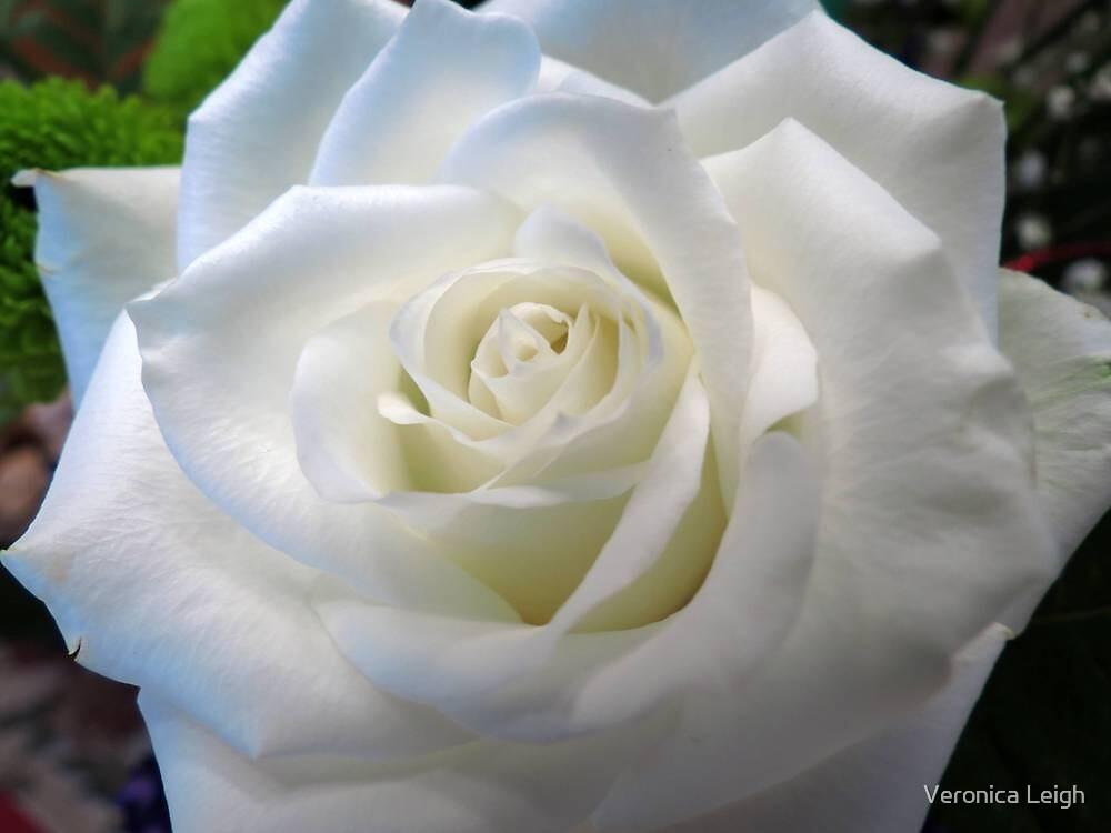 White Rose by Veronica Schultz
