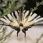Scarce Swallowtail by Hugh J Griffiths