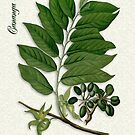 Botanical illustration of Ylang Ylang von Irisangel