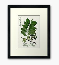 Botanical illustration of Ylang Ylang Framed Print