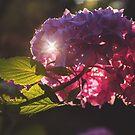 Sunlit Hydrangea  by Jenny Miller