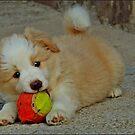 Border Collie Puppy with ball by dedakota