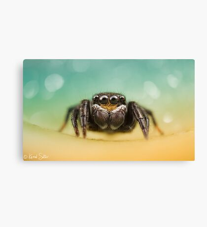 Salticidae (Unknown I.D) Canvas Print