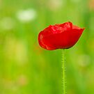 Beautiful Single Red Poppy Flower Portrait by Beverly Claire Kaiya