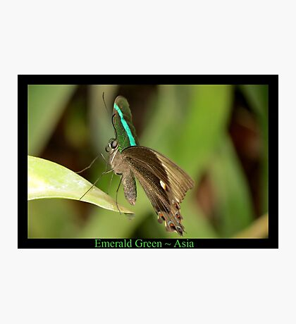 Emerald Peacock Butterfly Photographic Print
