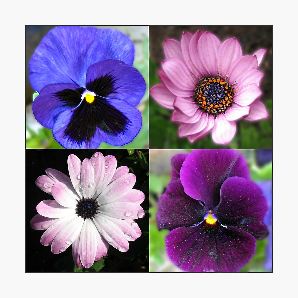 Cute Pansies and Daisies Collage Fotodruck