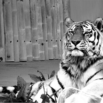Relaxed Tiger by Cwaff123