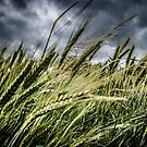 Barley in the Wind by LucyOlver