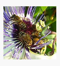 Passion Flower and Honey Bees Collecting Pollen Photographic Print