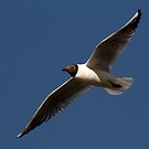 European Black Headed Gull by Robyn Carter