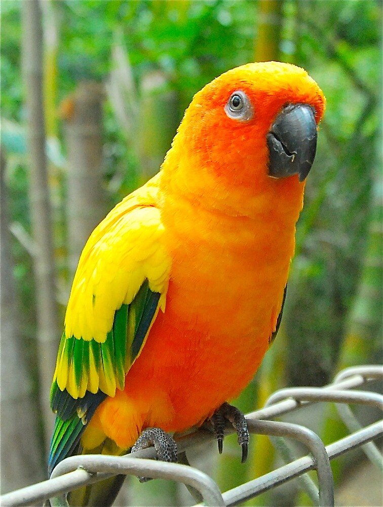 Sun Conure Profile by peasticks