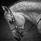 A grey horse head study by Judi Lion
