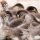Ducklings by Sarah Guiton