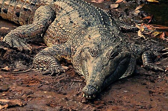 Never smile at a crocodile by Julia Harwood