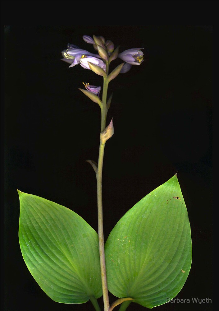 Hosta in Bloom by Barbara Wyeth