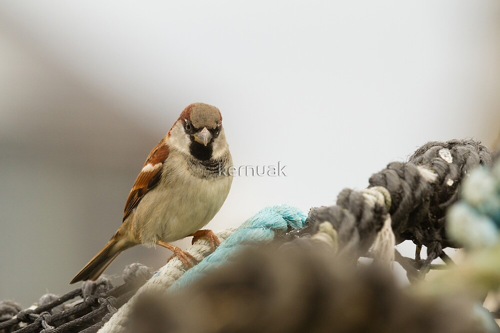 Male House Sparrow on Lobster Pot by kernuak