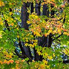Maples Turning by Mikell Herrick