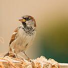 House Sparrow on Lobster Pot by kernuak