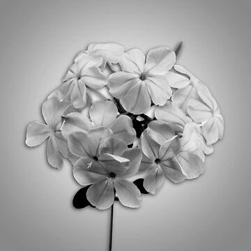 Gray Plumbago by roim