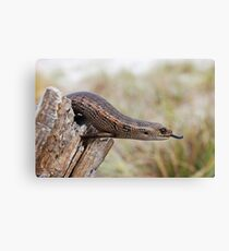 Blotched Blue-tongued Skink ( Tiliqua nigrolutea) Canvas Print