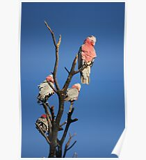Galahs In the Afternoon Sun Poster