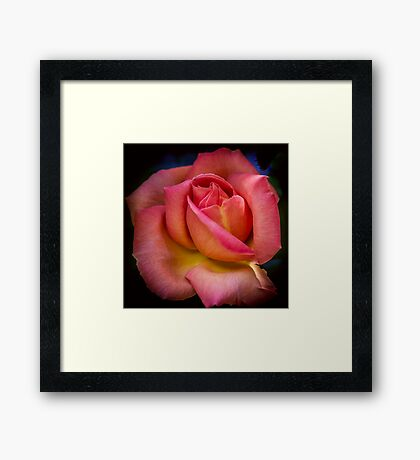 A Blooming Rose Framed Print