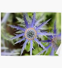Sea Holly - Blue Thistle Poster