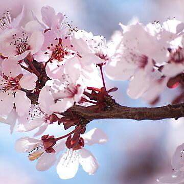 Plum Tree Blossom by gladyanne