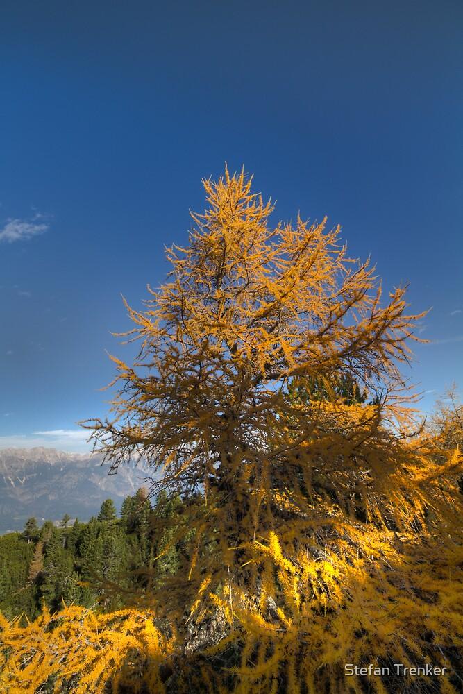 Walking along the Zirbenweg - Swiss Stone Pine by Stefan Trenker
