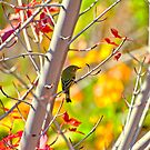 Blue-Headed Vireo  by K D Graves Photography