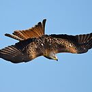 Red kite dive by Steve Shand