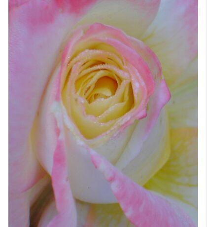 Beautiful Pink Rose Closeup  Sticker