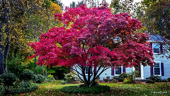 Red Maple on Tinker Tavern Road by Mikell Herrick