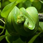Green tree python by Audid00dy