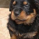 Cute Fluffy Female Rottweiler Pup Falling Asleep by taiche