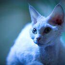 Devon Rex Cat (LX Poster) by Chris Porteous