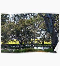 Oz Countryside...canola framing eucalypts. Poster
