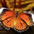 Orange Lacewing Butterfly by Michelle Ricketts
