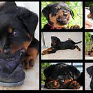 Collage Of Cute Female Rottweiler Puppy by taiche