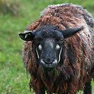 SHEEP by Hallvor