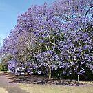Jacaranda * Taree by Gary Kelly