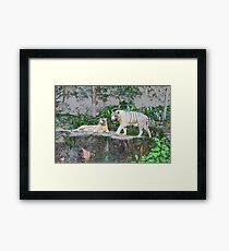 White Tigers Framed Print
