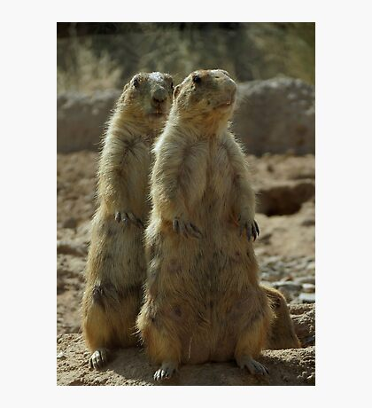 Black-tailed Prairie Dogs~ I got your Back! Photographic Print