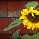 Sunflower & Shingles by Amanda White