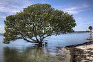 Mangrove Tree by Bill Wetmore