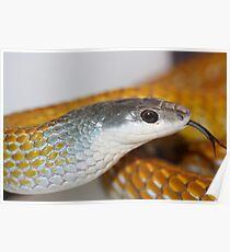 Gold Phase Tree Snake - Dendrelaphis punctulata Poster