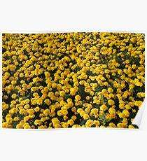 Yellow Marigolds Poster