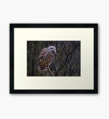 Barred Owl with vole Framed Print