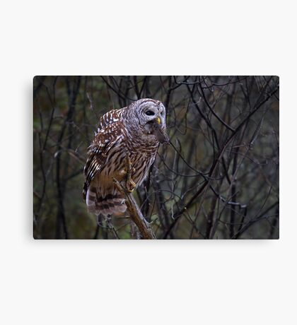 Barred Owl with vole Canvas Print