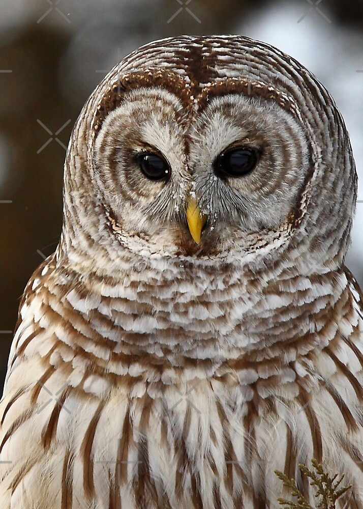 Barred Owl closeup by Jim Cumming